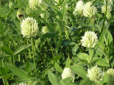Hungarian clover