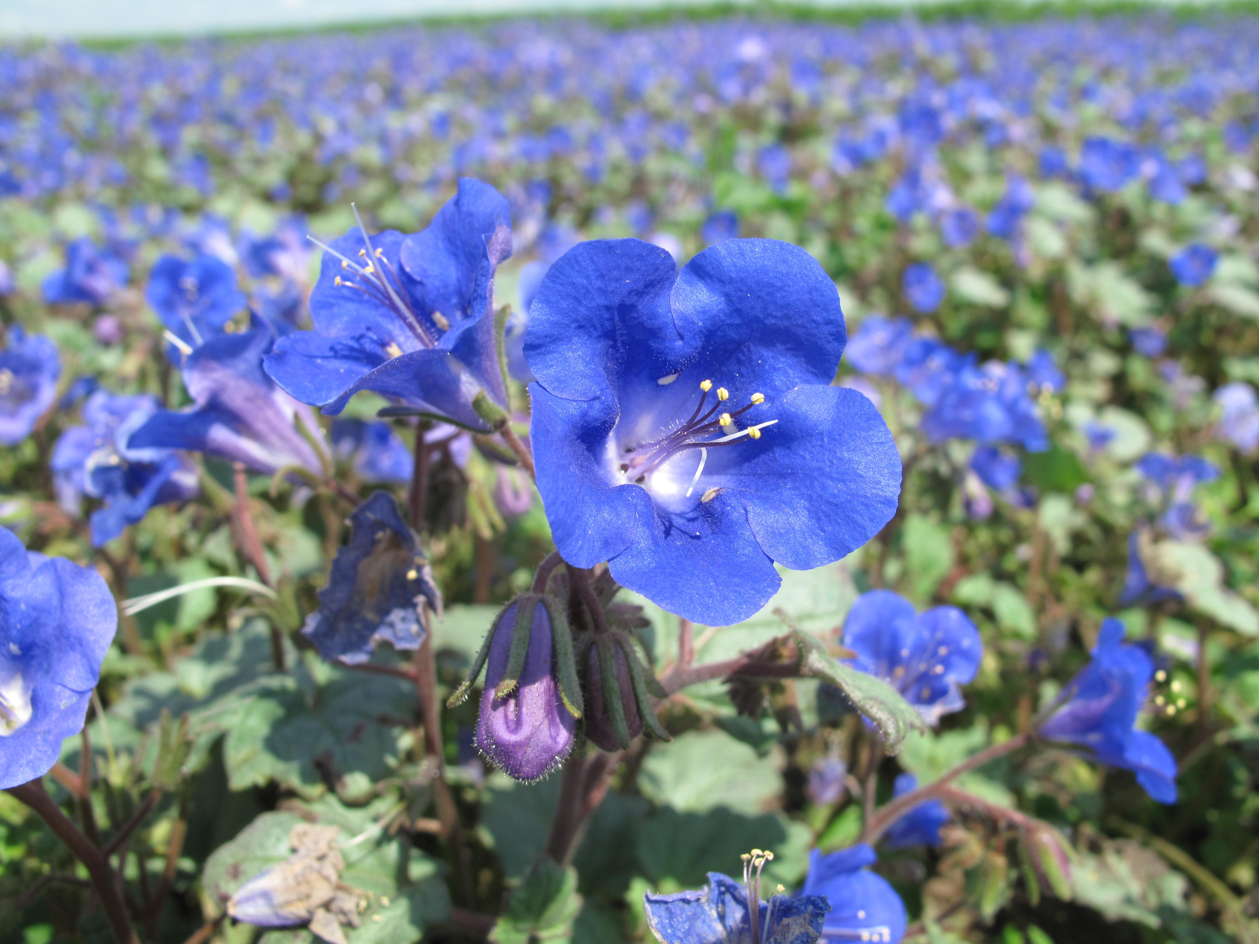 Svazenka zvonkovitá (modrá)